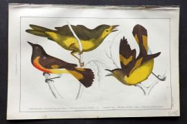Goldsmith 1851 Hand Col Bird Print. Selby's & Yellow Tailed Gnat-Catcher